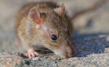 Sudah Tahu Tips Jitu Mengusir Tikus Dari Rumah Yuk Cek Di Sini